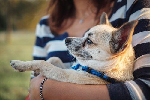 Der Chihuahua mag es im Arm