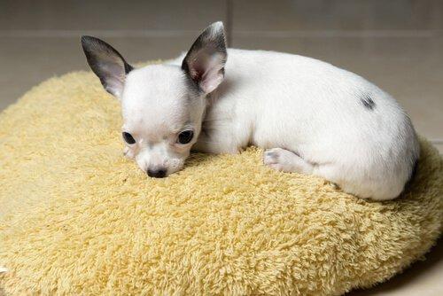 Warum zittert der Chihuahua?