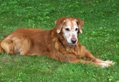 die Loyalität - älterer Hund