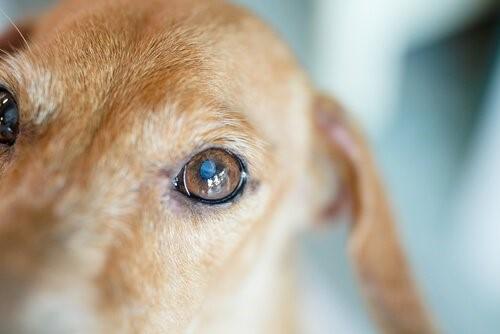 die braunen Tränenflecken - Hundeauge