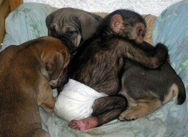 Die Hündin, die Schimpansen tröstet