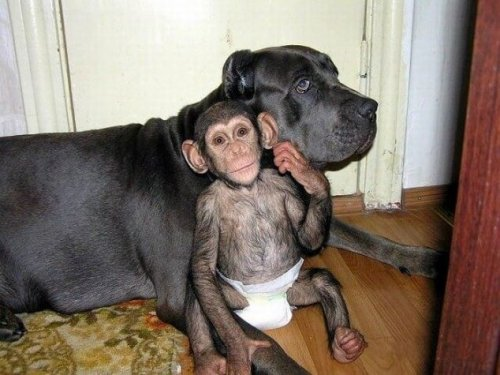 Lerne die Hündin kennen, die sich um verwaiste Schimpansen kümmert