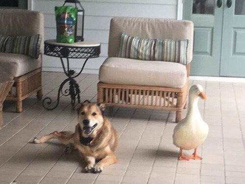 Ente hilft deprimiertem Hund