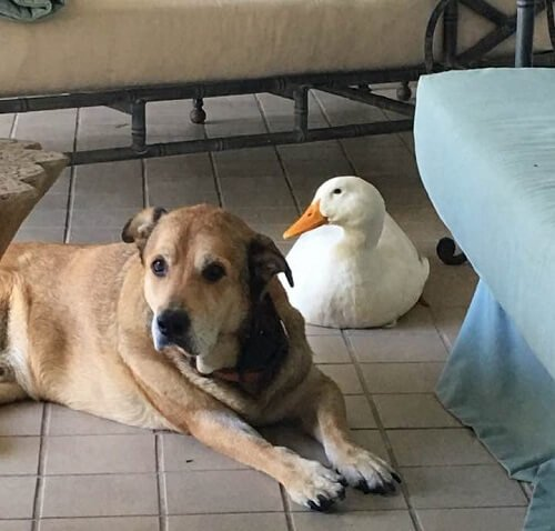 Ente und Hund