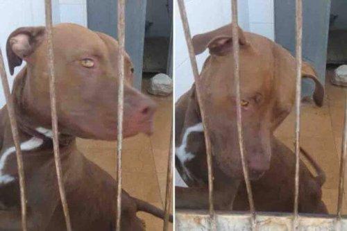 Eine Hündin, die aus einem geschlossenen Auto gerettet wurde, erholt sich in einem Tierheim