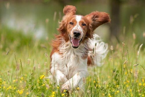 Hund glücklich auf einer Wiese