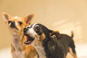 Hundesprache: Bellen