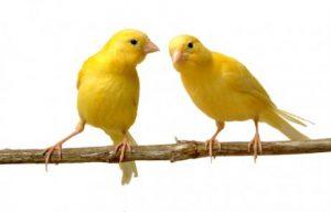 Zucht von Kanarienvögeln