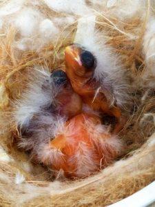 Küken im Nest