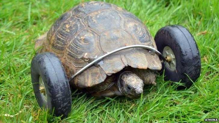 Schildkröte mit Räderprothese