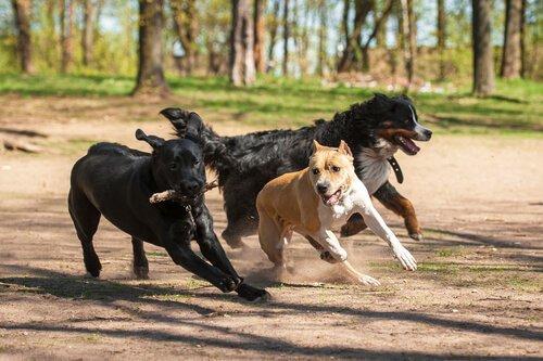 Spiel und Streit bei Hunden