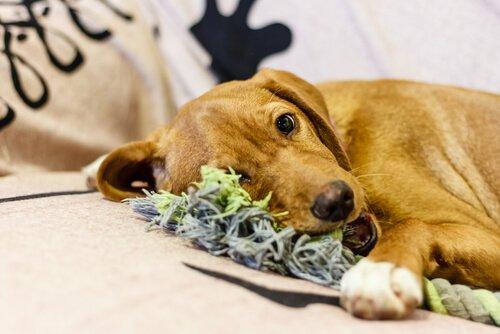 Mache Spielzeug aus alter Kleidung für deinen Hund