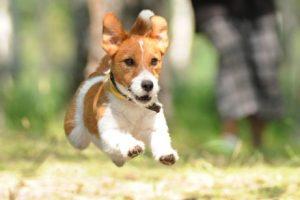 Terrier beim Rennen