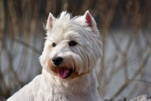 weißer Terrier