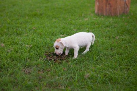 Behandlung von Koprophagie bei Hunden