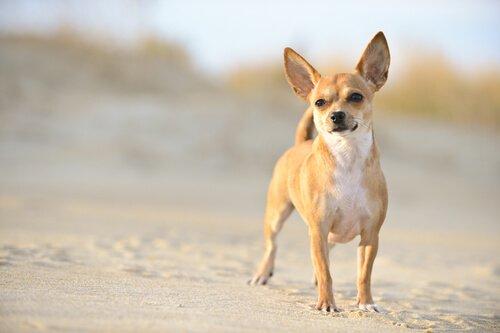 kleiner Chihuahua, großer Frieden