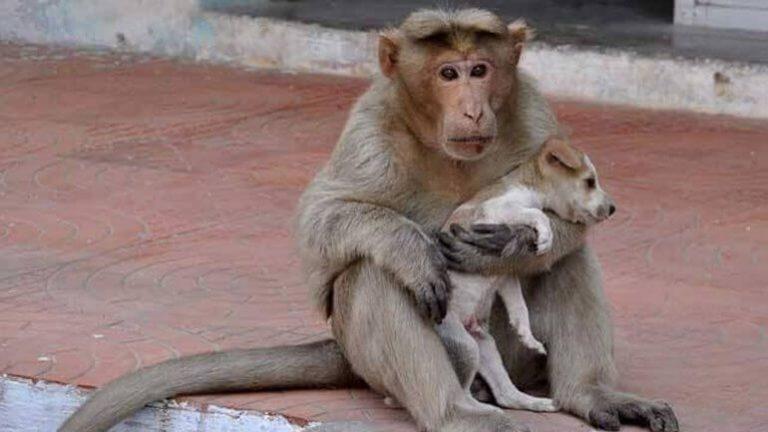 Der Affe, der sich um einen Hund kümmert