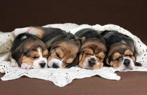 Die richtige Ernährung für Welpen - schlafende Welpen
