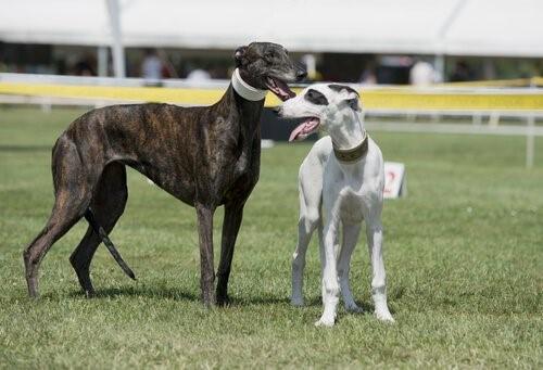 Hunderennen verboten - Windhunde