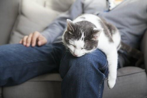 Mit deiner Katze schläfst - Katze schläft auf Schoss