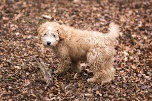 Warum sind die Thrombozytenwerte bei meinem Hund zu niedrig?