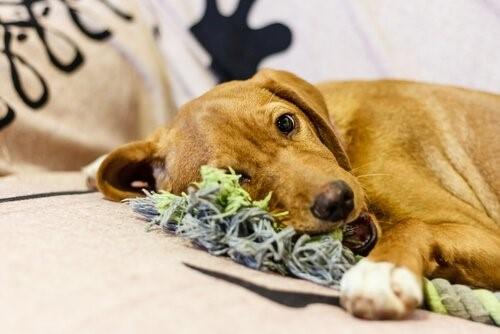 Warum dein Hund das Haus zerstört - Hund kaut an Spielzeug