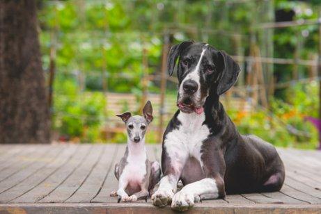 Warum haben kleine Hunde mehr Charakter als große?