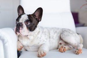 Was sehen Hunde wenn sie fernsehen - Hund auf Sessel