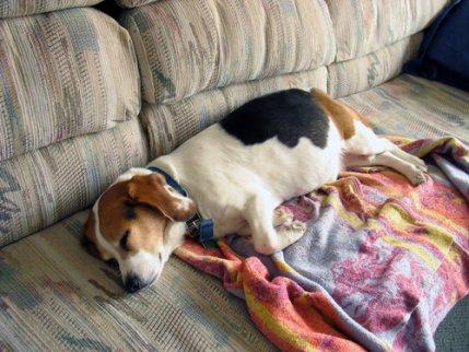 Wie viel Schlaf brauchen ältere Hunde?