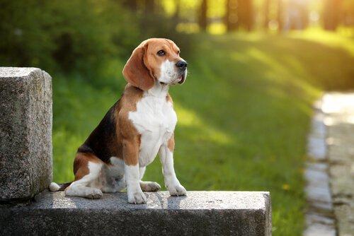 Beagle - erfahre alles über diese Rasse