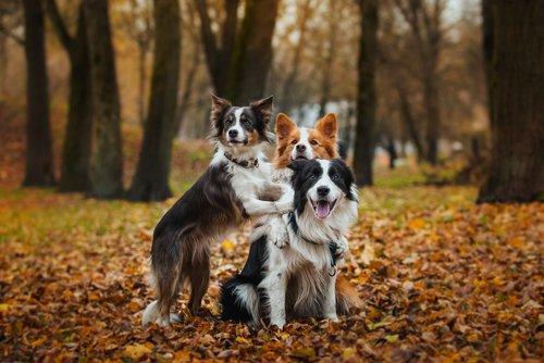 Border Collie: verspielte Hunde im Wald