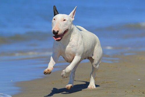 Bull Terrier: Weißt du wirklich alles über diese Rasse?