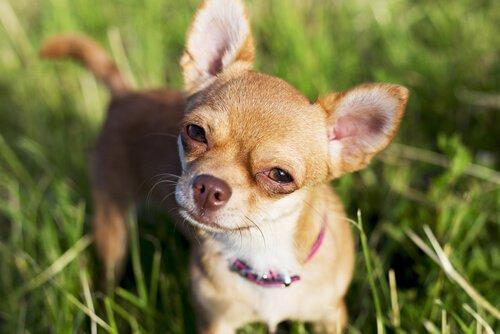 Menschen mit kleinen Hunden haben oft ein großes Herz
