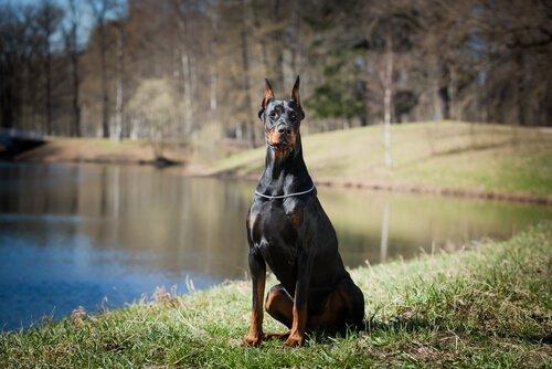 Der Dobermann ist ein Schutzhund