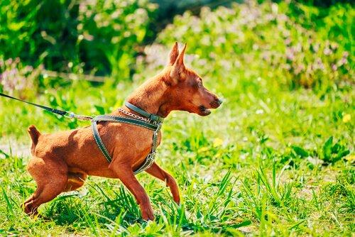 Kleine Hunde können auch aggressives Verhalten zeigen