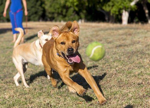 Wenn Hunde ihre überschüssige Energie verbrennen, entwickeln sie oft weniger aggressives Verhalten