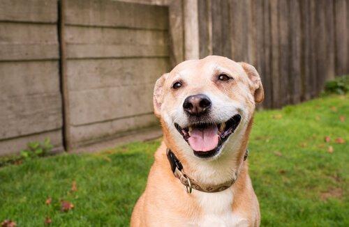 Der Hund lächelt vor Frieden