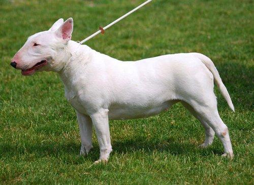 Englischer Bull Terrier