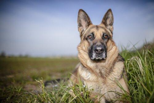 Epilepsie bei Schäferhunden
