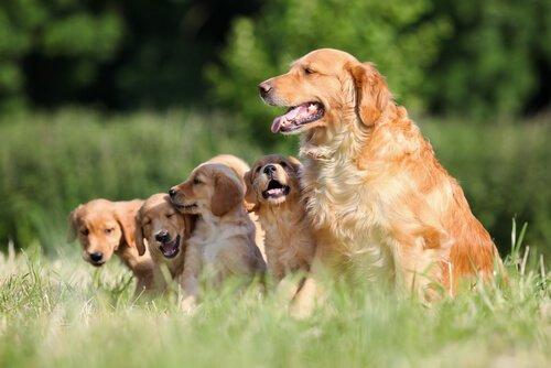 Golden Retriever Familie