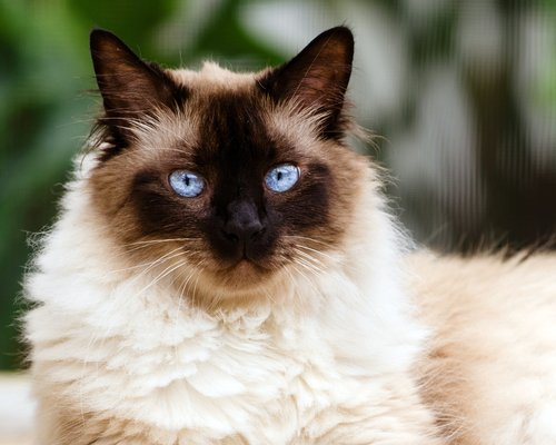 himalayische Siamesen Katze