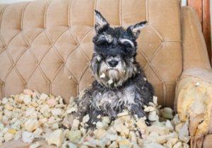 Hund ist gestresst und zerstört Dinge