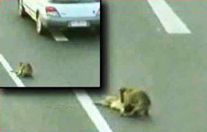 Hund rettet Freundin von der Straße