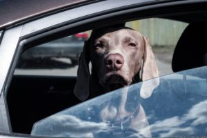 Hund im Taxi