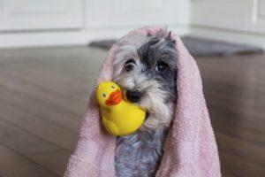 Hund mit Ente beim Friseur