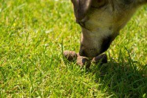 Koprophagie bei Hunden