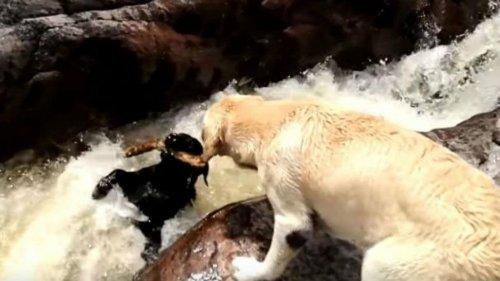 Hund rettet Artgenossen aus dem Fluss vorm Ertrinken