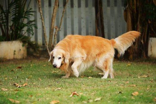 Hund liebt es, sich im Dreck zu wälzen