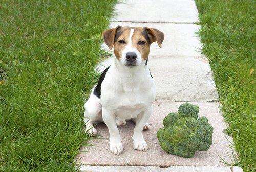 Brokkoli in der Ernährung des Hundes