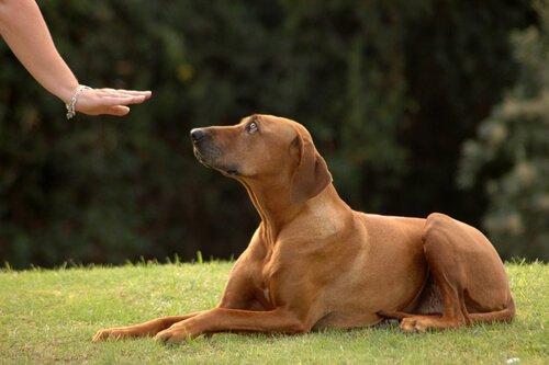 werdende Mutter trainiert Hund